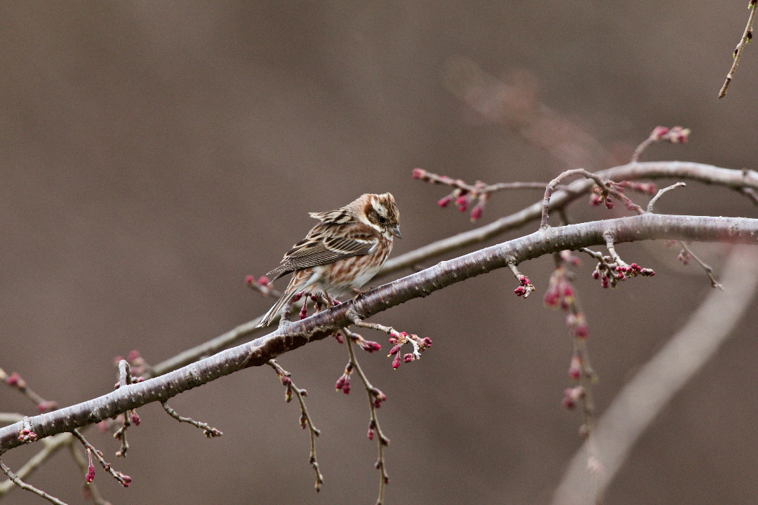 枝垂れ桜のカシラダカ_e0071967_134476.jpg