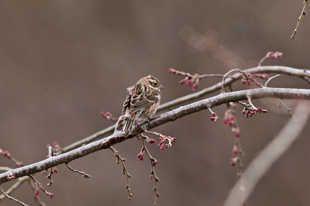 枝垂れ桜のカシラダカ_e0071967_1344996.jpg