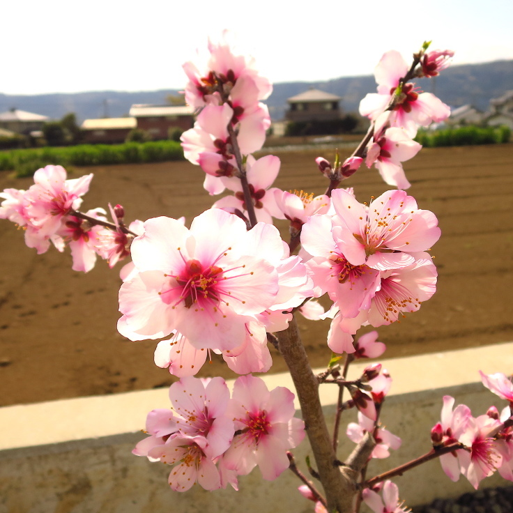 Cherry blossoms started to bloom, but this is a tree of almonds._a0138674_15390858.jpg
