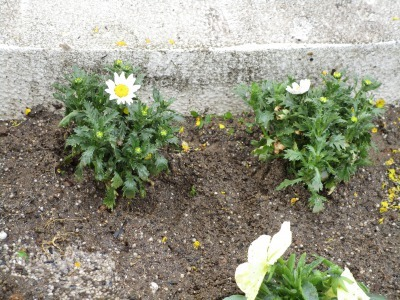 名古屋港水族館前花壇の植栽H31.3.6_d0338682_11452800.jpg