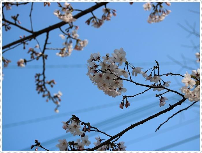 お散歩コースの桜の開花はもう少し先になりそうだけど、楽しみが膨らんできました~\\(>3(O^-)/ウフ☆_b0175688_19304625.jpg