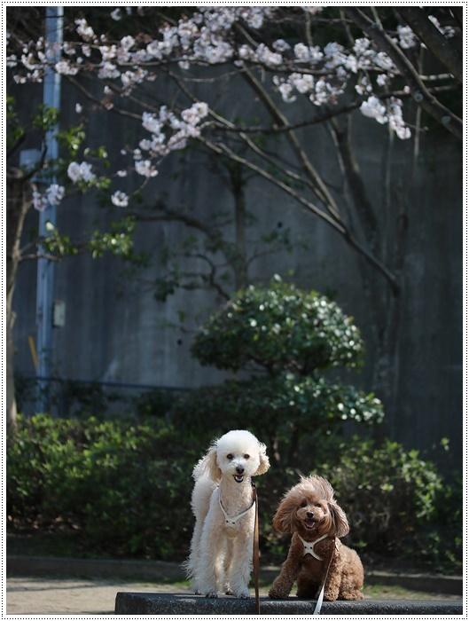 お散歩コースの桜の開花はもう少し先になりそうだけど、楽しみが膨らんできました~\\(>3(O^-)/ウフ☆_b0175688_19305906.jpg