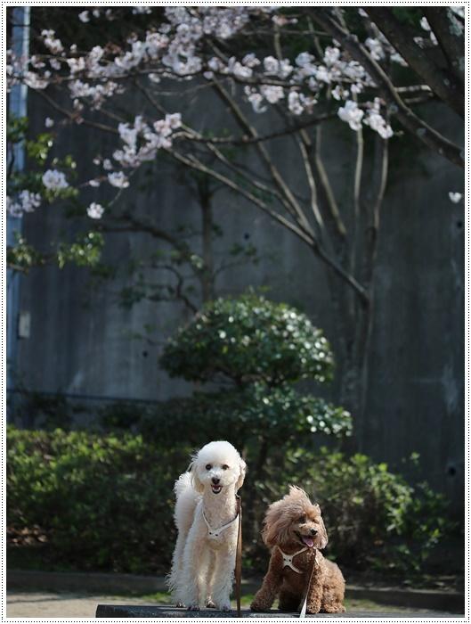 お散歩コースの桜の開花はもう少し先になりそうだけど、楽しみが膨らんできました~\\(>3(O^-)/ウフ☆_b0175688_19310694.jpg