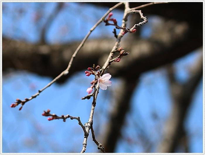 お散歩コースの桜の開花はもう少し先になりそうだけど、楽しみが膨らんできました~\\(>3(O^-)/ウフ☆_b0175688_19335337.jpg