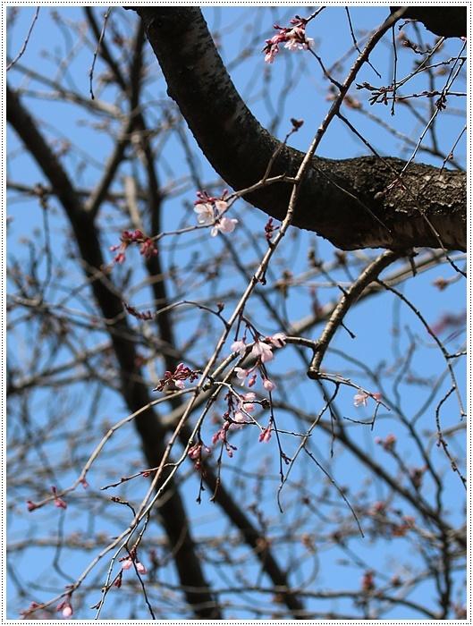 お散歩コースの桜の開花はもう少し先になりそうだけど、楽しみが膨らんできました~\\(>3(O^-)/ウフ☆_b0175688_19335655.jpg