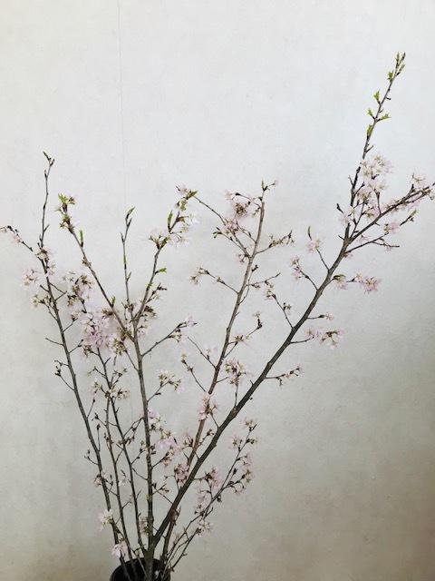 おうちで桜_f0204295_07455773.jpg
