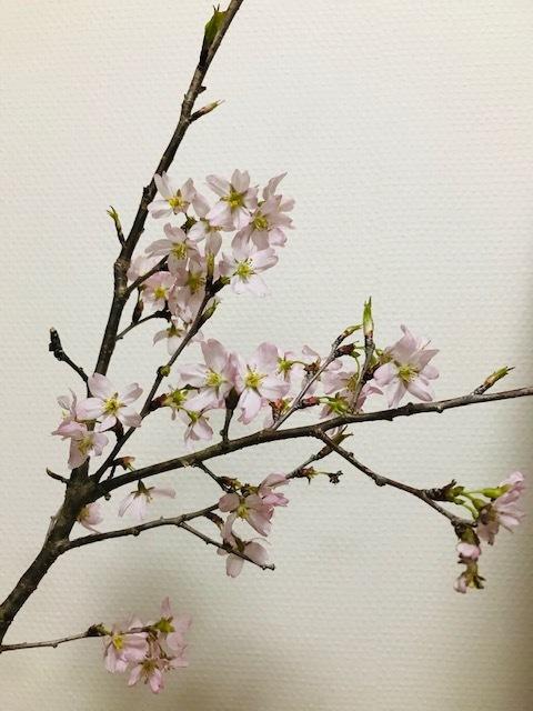 おうちで桜_f0204295_07541421.jpg