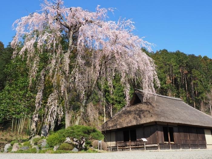 桜追っかけ 高麗神社のしだれ桜_f0224100_22022167.jpg