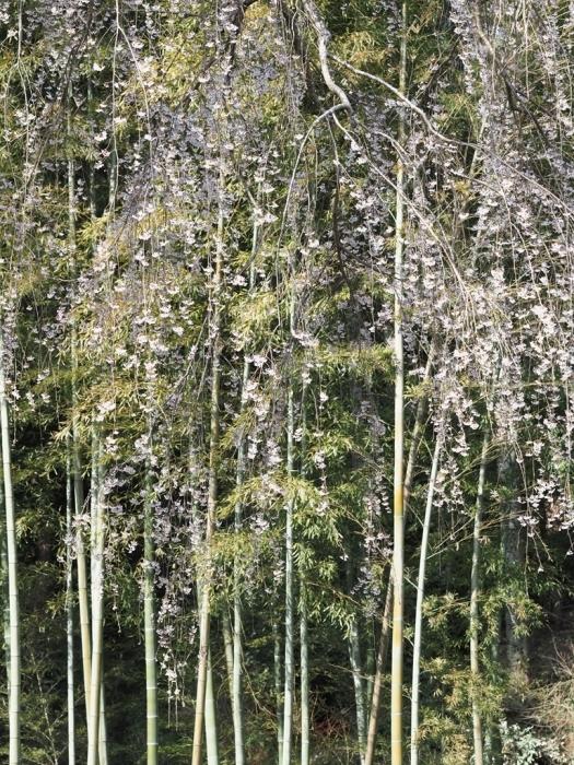 桜追っかけ 高麗神社のしだれ桜_f0224100_22025272.jpg