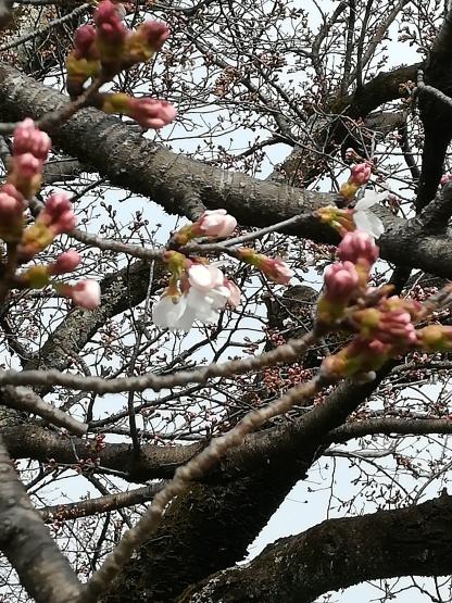 山桜の軸_b0289206_20012578.jpg