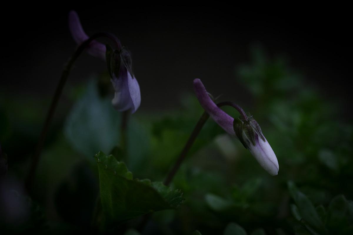 X-T30 見参 そのIII スミレの花の咲く頃 #FUJIX-T30_c0065410_22461606.jpg