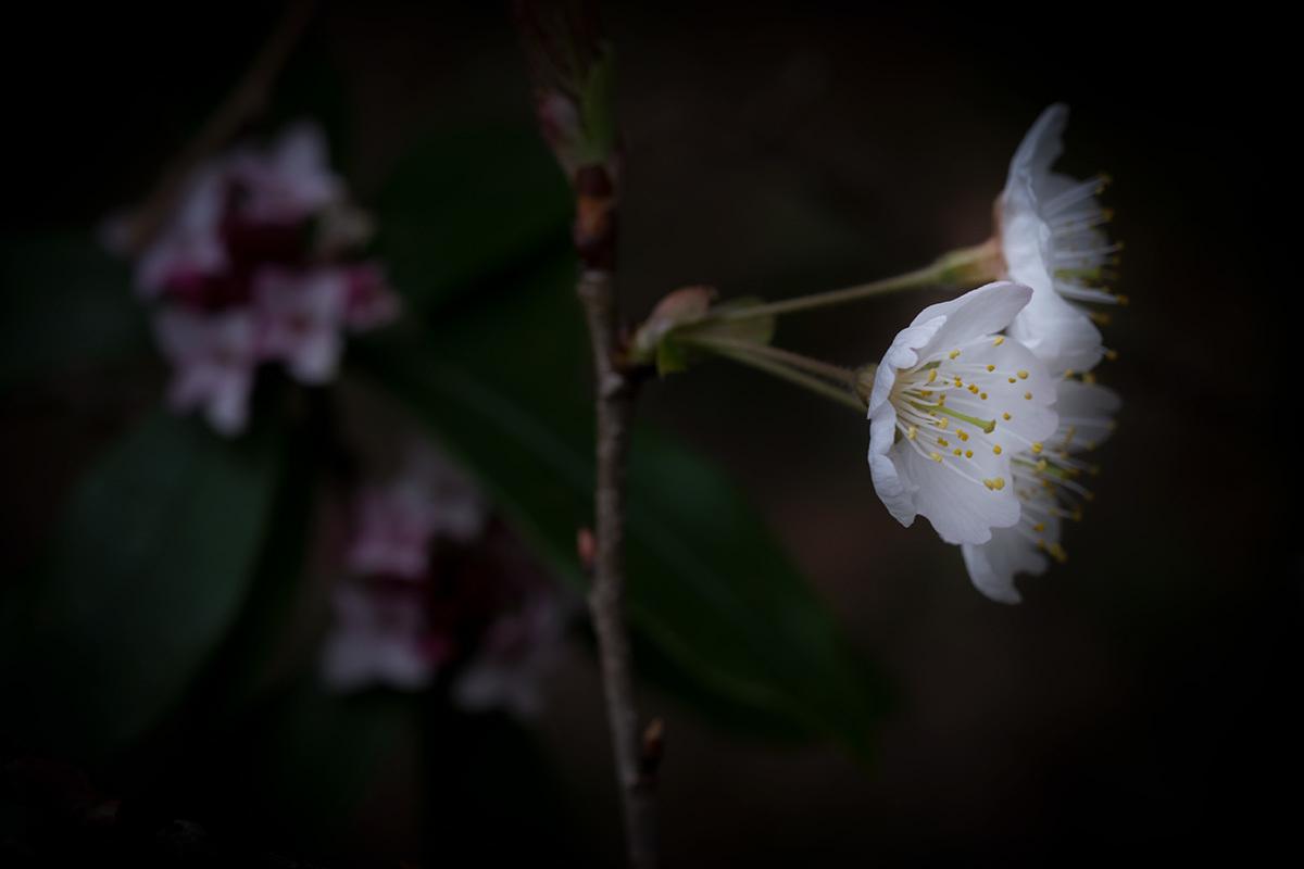X-T30 見参 そのIII スミレの花の咲く頃 #FUJIX-T30_c0065410_22462516.jpg