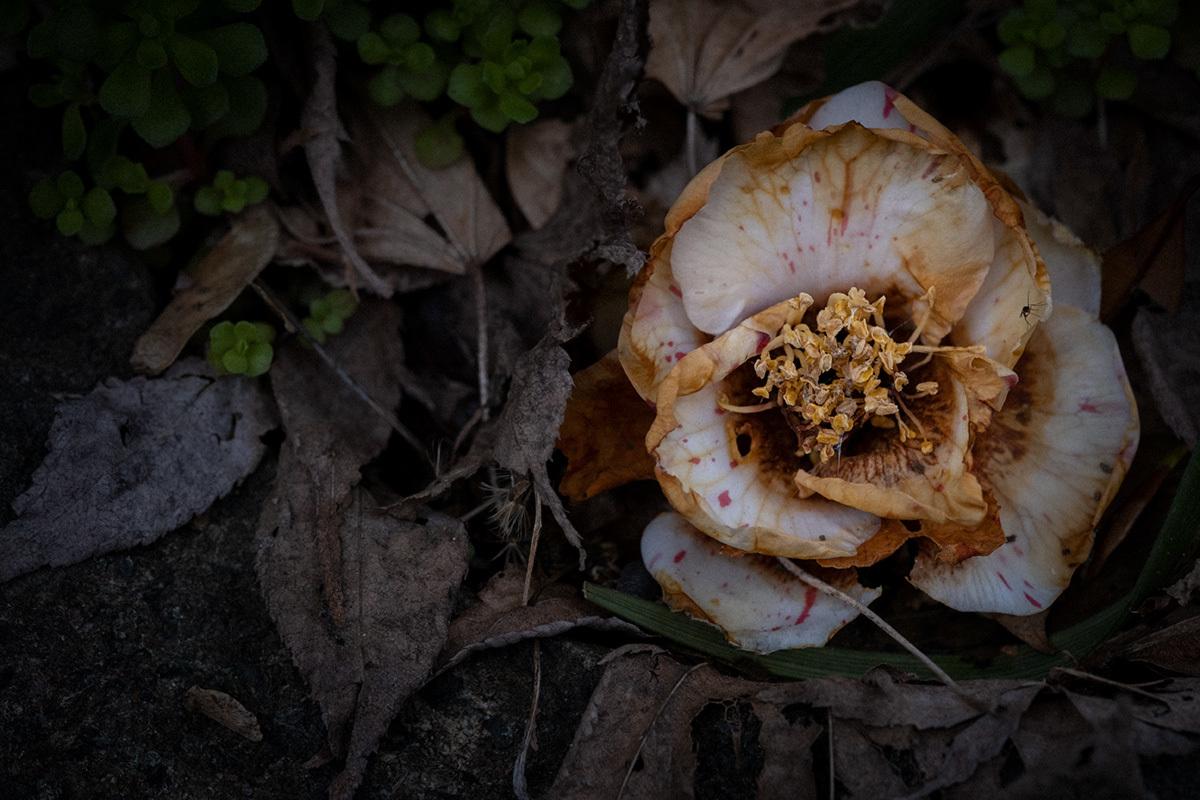 X-T30 見参 そのIII スミレの花の咲く頃 #FUJIX-T30_c0065410_22464969.jpg