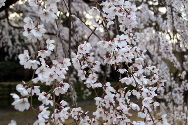 天皇陛下 京都御苑近衛邸跡へ _e0048413_19145950.jpg