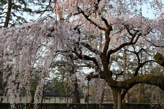 天皇陛下 京都御苑近衛邸跡へ _e0048413_19163466.jpg