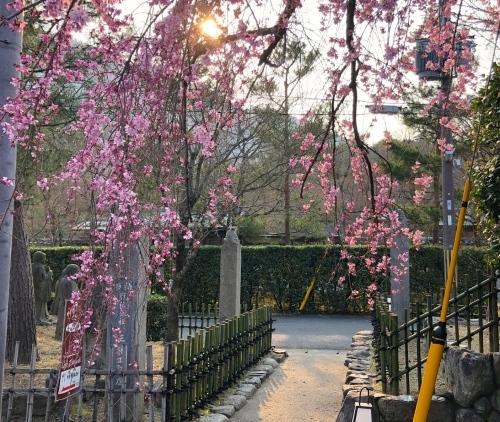 桜、始まりました_a0197730_13095545.jpg