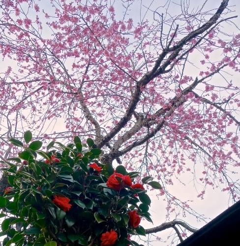 桜の箸置き&椿も咲いてまーす_a0197730_16031070.jpg