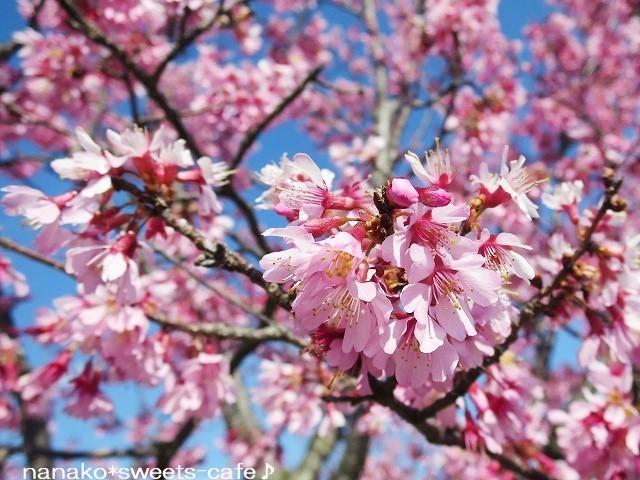 お散歩 * 可愛いオカメ桜_d0147030_20072971.jpg