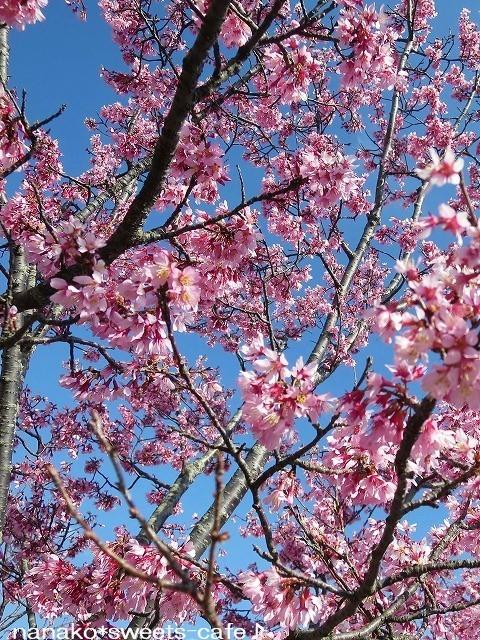 お散歩 * 可愛いオカメ桜_d0147030_20074048.jpg