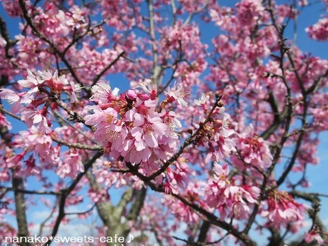 お散歩 * 可愛いオカメ桜_d0147030_20074896.jpg