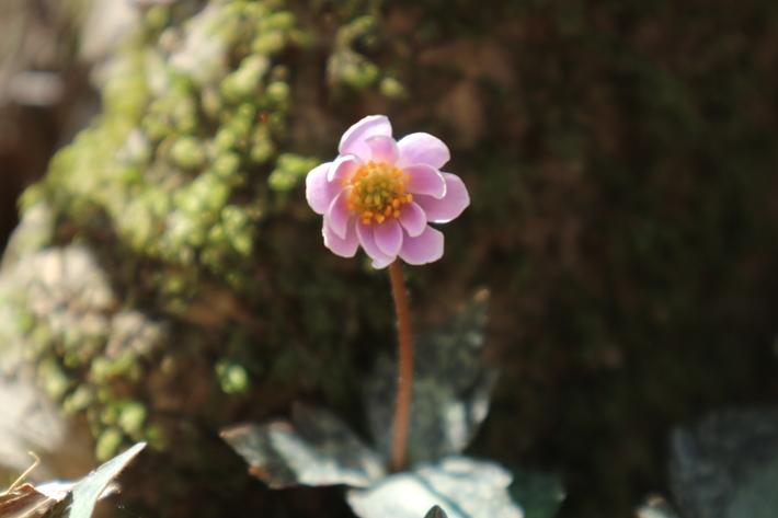 白水湿生花園(カタクリ)&男池(ハルトラノオ)&清滝(ハシリドコロ)!_e0272335_7324097.jpg