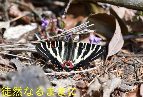 ギフチョウ in  K湿地 初見_d0285540_14285526.jpg