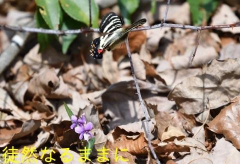 ギフチョウ in  K湿地 初見_d0285540_14303831.jpg