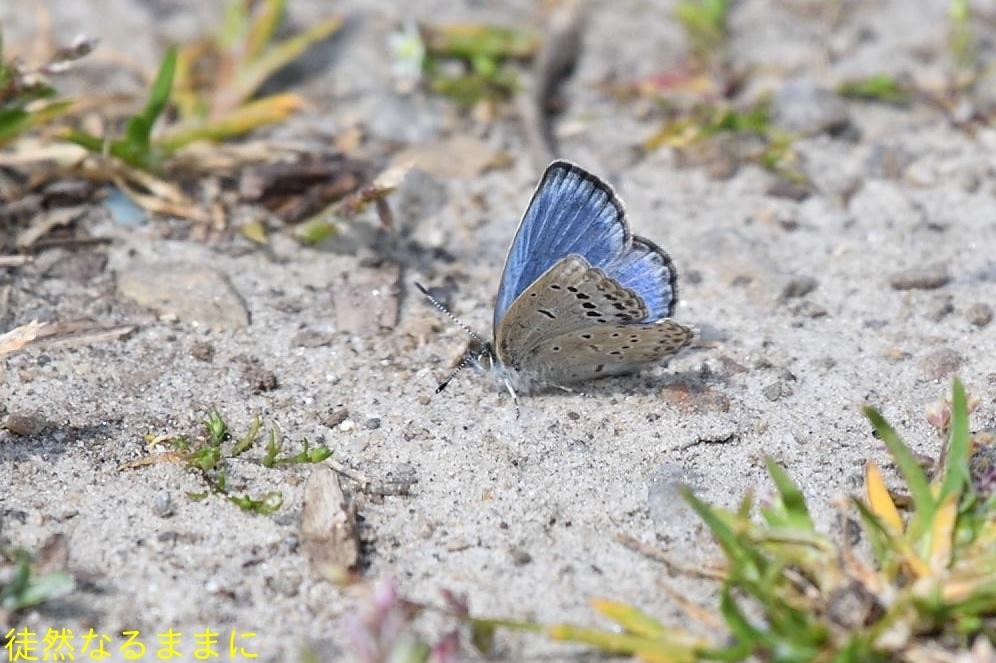ギフチョウ in  K湿地 初見_d0285540_14412796.jpg