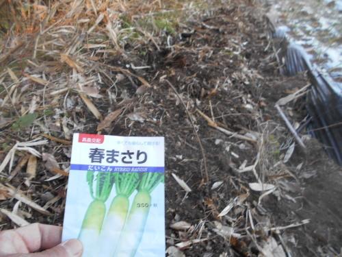 2019春ダイコン種まき そして 青首大根の種の交雑_e0181260_05571486.jpg