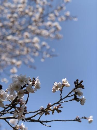 桜 さくら サクラ_b0117564_23034565.jpg