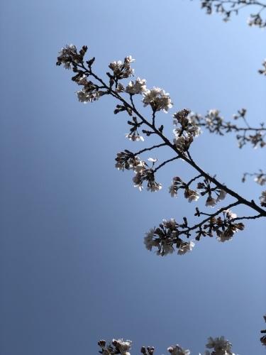 桜 さくら サクラ_b0117564_23035345.jpg