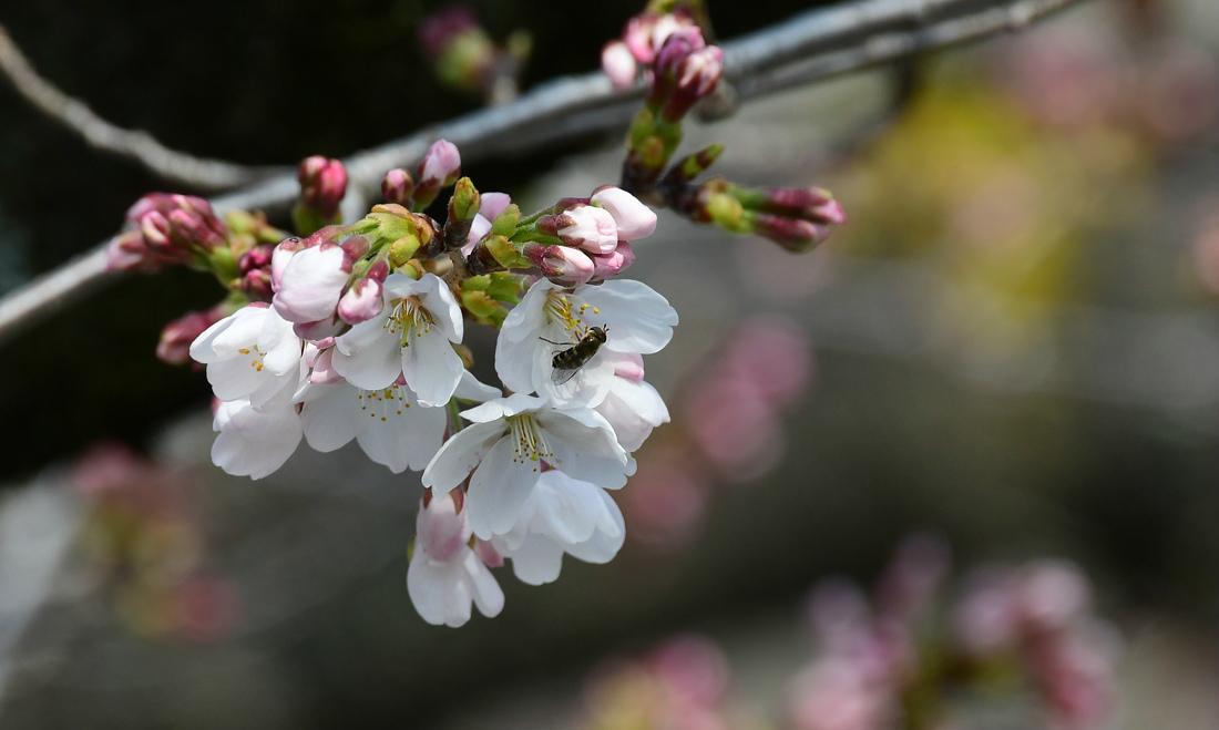 待ちに待った桜開花🌸 特別編_f0053272_22514353.jpg