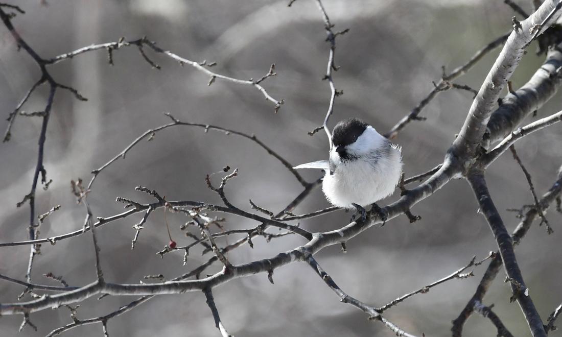 桜は咲いたけど〜 高所のコガラ ヒガラ アトリ_f0053272_23255573.jpg