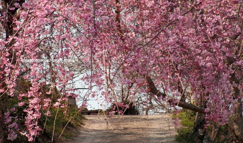 桜の季節に・・_c0357781_19304845.jpg