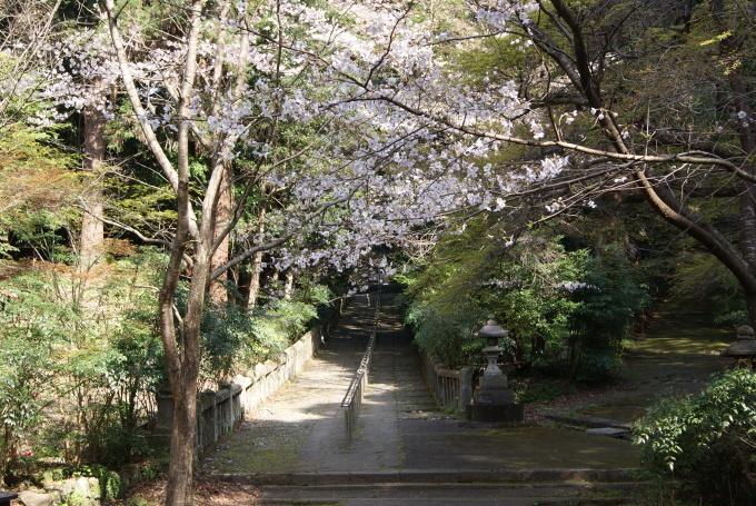 柞原八幡宮『桜』開花宣言 ②_f0191383_10183458.jpg