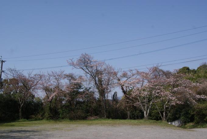 柞原八幡宮『桜』開花宣言 ②_f0191383_10200693.jpg