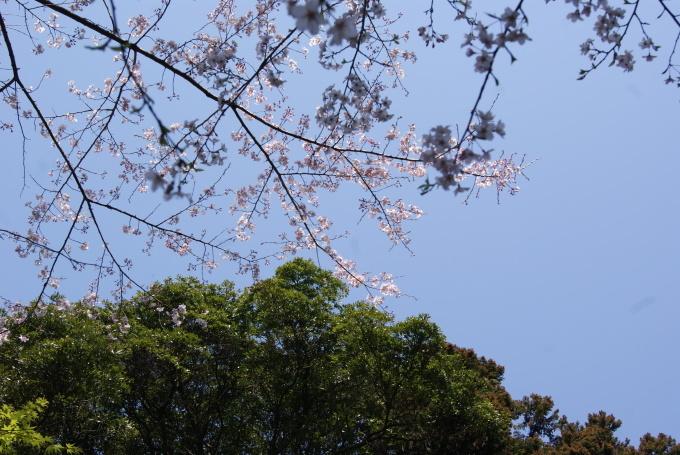 柞原八幡宮『桜』開花宣言 ②_f0191383_10202740.jpg