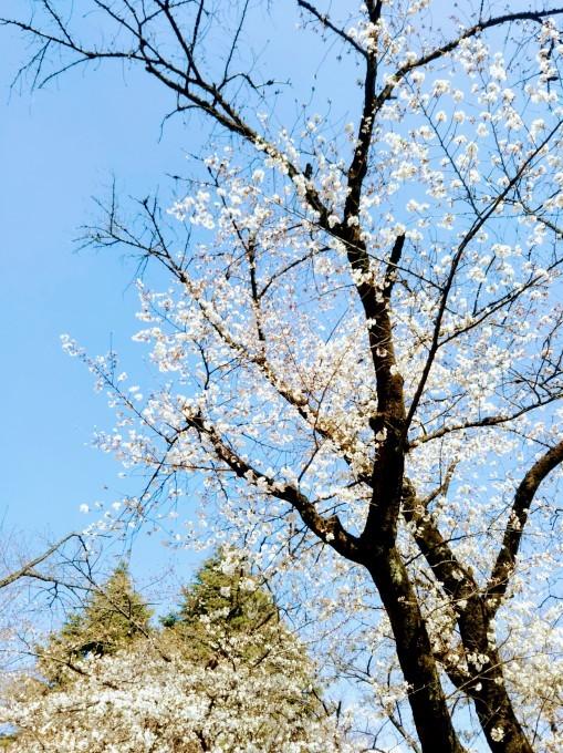 桜と甘い物♪_b0210688_16371456.jpg