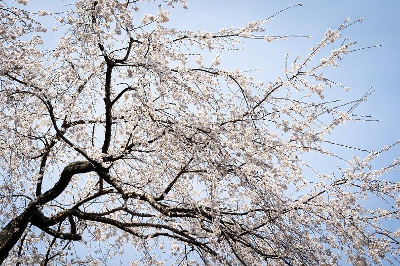 今年もありがとう、樹齢1300年のエドヒガン_d0353489_16592651.jpg