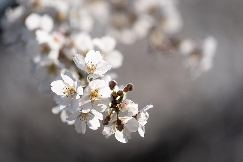 今年もありがとう、樹齢1300年のエドヒガン_d0353489_17300335.jpg