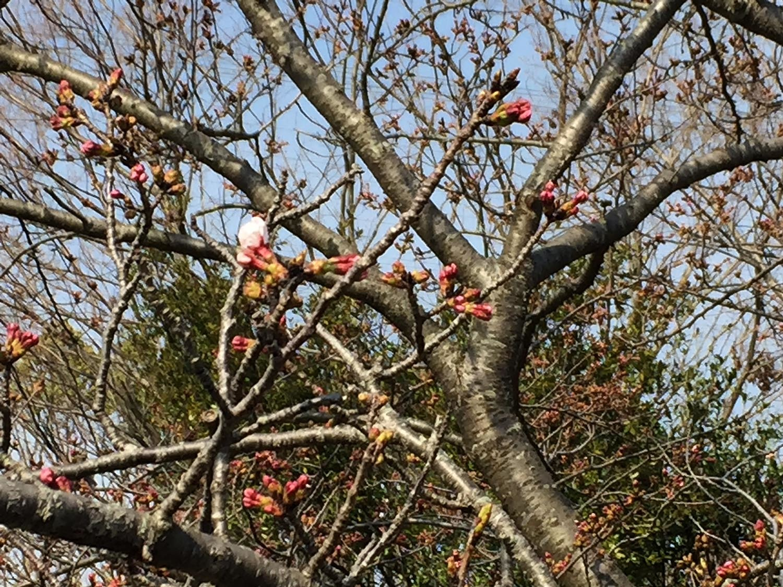 桜の開花!?_e0362696_16395608.jpg