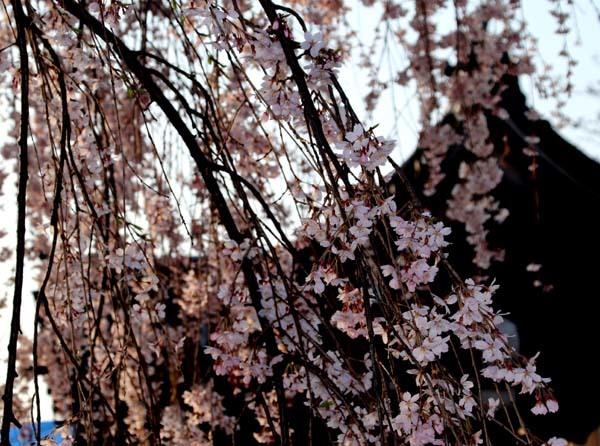 しだれの一本桜満開 本満寺_e0048413_21360415.jpg