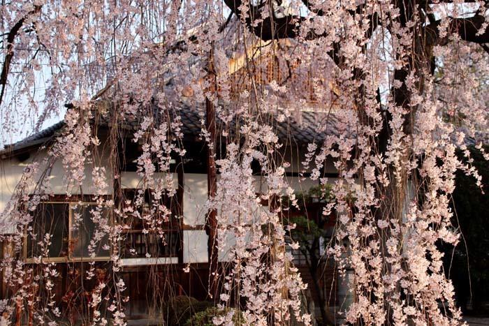 しだれの一本桜満開 本満寺_e0048413_21360720.jpg