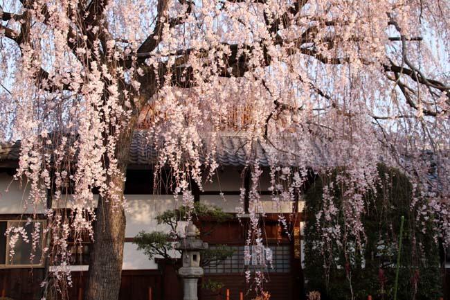 しだれの一本桜満開 本満寺_e0048413_21361182.jpg