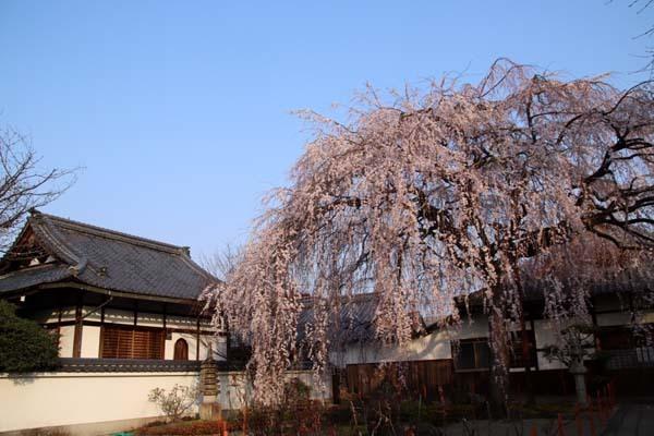 しだれの一本桜満開 本満寺_e0048413_21361627.jpg