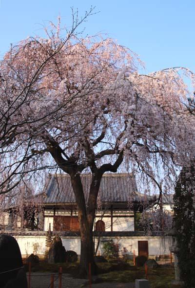 しだれの一本桜満開 本満寺_e0048413_21361940.jpg