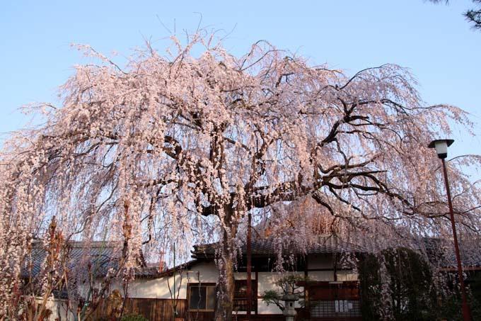 しだれの一本桜満開 本満寺_e0048413_21362217.jpg
