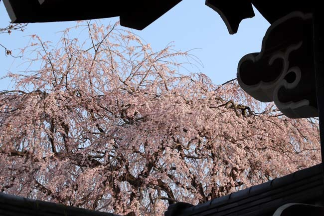 しだれの一本桜満開 本満寺_e0048413_21362510.jpg