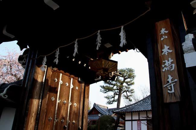 しだれの一本桜満開 本満寺_e0048413_21363073.jpg