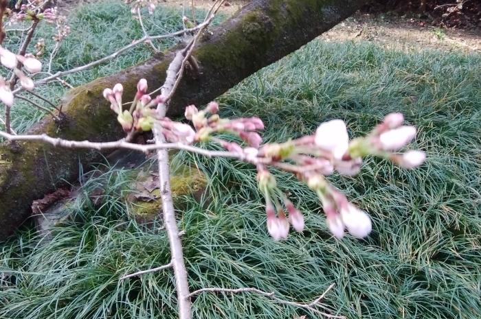 桜開花_f0211013_17200321.jpg